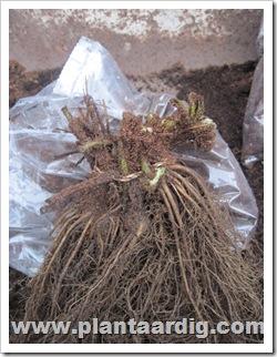 frigoplanten