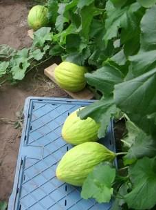 Begin augustus zijn de eerste meloenen al een beetje doorgekleurd, maar nog niet oogstbaar