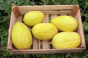 Eind augustus konden zowat alle honingmeloenen geoogst worden.
