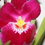 orchideák tartása a lakásban
