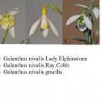 Galanthus spp.