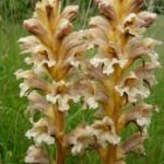 orobanche sp