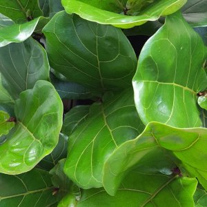 Little Fiddle Leaf Fig 35cm tall approx