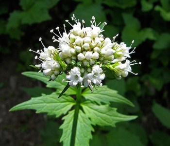 Planta Medicinal Valeriana