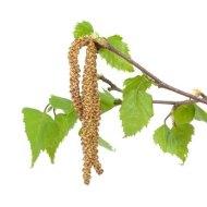 Abedul: propiedades y usos medicinales en fitoterapia