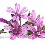 Malva: propiedades medicinales para curar bronquitis, tos, hemorroides…