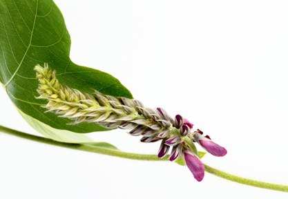 Propiedades de Pueraria lobata o Kudzu