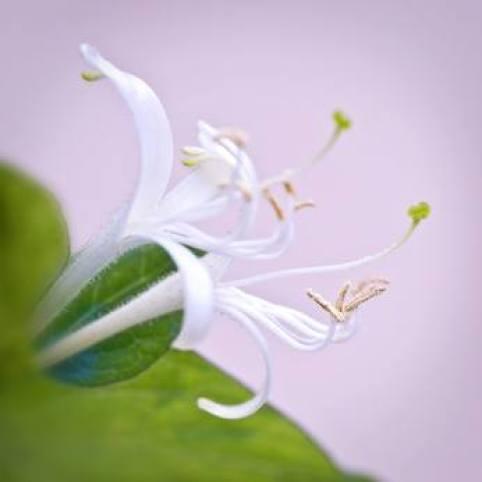 La madreselva (Lonicera japonica Thunb)