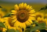 Flores medicinales beneficiosas para la salud. 6 Remedios naturales con flores