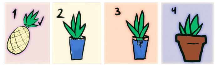 Como plantar Piñas