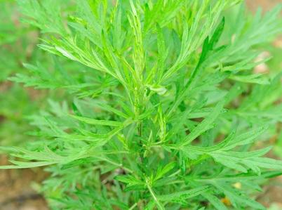 Propiedades de la Artemisia argyi Levl. & Vant