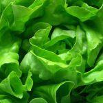 Lechuga: beneficios para la salud y propiedades nutricionales