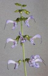 Uso de Salvia miltiorrhiza Buch.Ham. en Medicina China