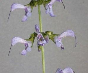 Salvia miltiorrhiza