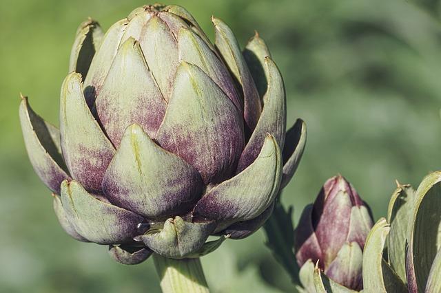 Alcachofa utilizada como planta medicinal