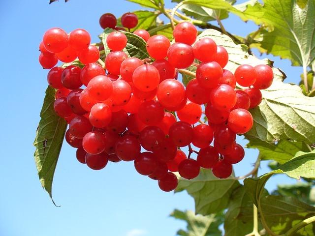 Frutos de Arándano rojo