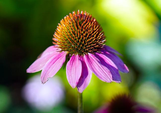 Flor de Echinacea purpurea  (Equinacea)