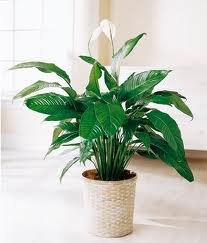 Espatifilo (Spathiphyllum wallissi)