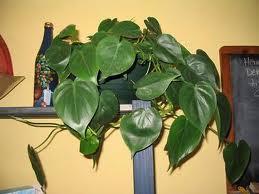 Filodendro trepador (Philodendron scandens)