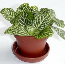 Fitonia (Fittonia verschaffeltii)