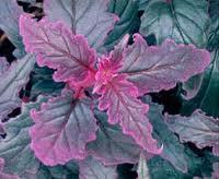 Ginura (Gynura aurantiaca) 2