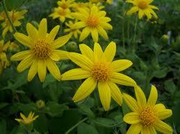 Planta medicinal árnica