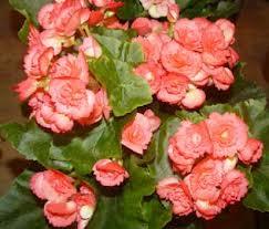 Begonia (Begonia sempreflorens)