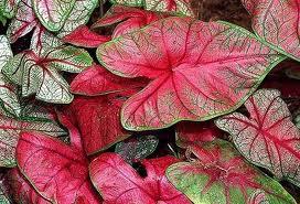 Caladium bicolor