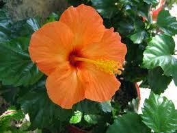 Hibisco (Hibiscus)