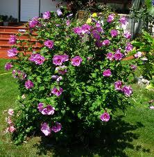 Altea (Hibiscus siriacus)