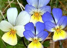 Pensamientos (Viola tricolor)