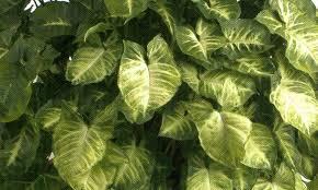 Singonio (Syngonium podophyllum)