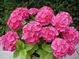 La Hortensia, la planta de flor favorita