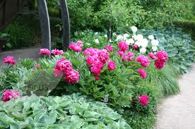 Peonía china (Paeonia lactiflora) 1