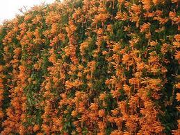 """La Bignonia amarilla (""""Tecoma stans""""): un arbusto muy singular 4"""