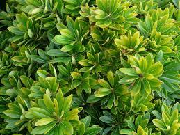 El Pitosporo (Pittosporum tobir) ó Azahar de la China