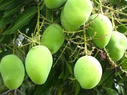 """Mango (""""Árbol de fruto delicioso"""")"""