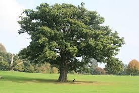 Roble («fuerte eres entre todos los árboles»)