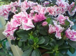 Azalea Indica («Rhododendron indicum»)