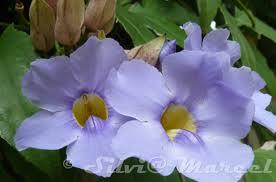 Bignonia azul («Thunbergia grandiflora»)
