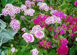 "La Clavelina (""Dianthus deltoides"") 1"