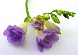 """La Fresia (""""Freesia hybrida"""") 3"""