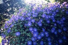 Caryopteris ó Heavenly blue («Caryopteris x clandonensis»)
