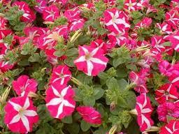 Petunia hybrida: una planta de hermosas flores