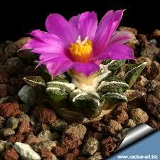 """Ariocarpus (""""Endémico de Texas y México"""") 1"""
