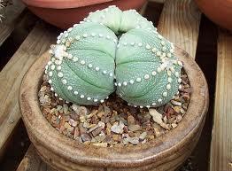 """Astrophytum asterias (""""Un Cactus sin Espinas"""") 1"""