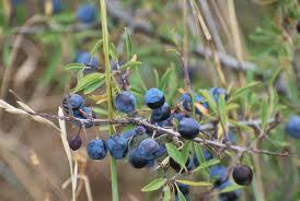 Endrino («Prunus spinosa»)