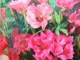 "Godecia (""Godetia grandiflora"") 1"