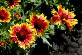 La Gallardia (Gaillardia aristata) 3