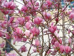 Rbol lirio o magnolio chino magnolia x soulangeana - Cuidados del magnolio ...